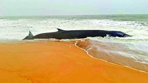 Baleia de 12 metros dá à costa em Quarteira e morre na praia