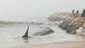 Baleia morta dá novamente à costa em Quarteira