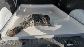 Cria de foca resgatada com vida na Praia da Légua em Alcobaça. Veja as imagens