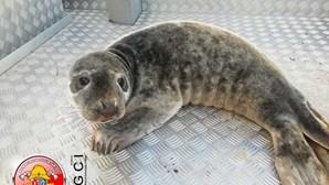 Cria de foca resgatada com vida em praia de Ovar