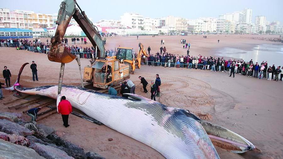 Operações realizadas ontem para tentar remover a baleia da praia não tiveram sucesso, sendo hoje retomadas