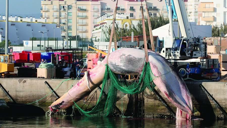 Baleia-comum em estado de decomposição foi ontem retirada da água por uma grua e transportada para um aterro