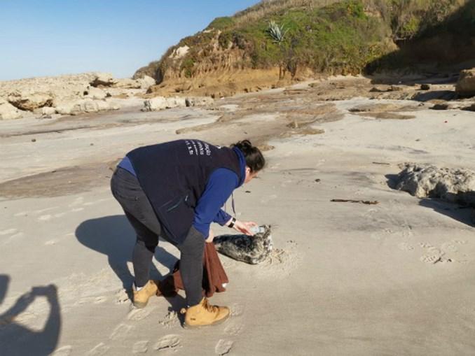 Cria de foca resgatada com vida na Praia da Légua em Alcobaça