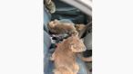 Jovens transformam carro em 'ambulância' e salvam coalas dos incêndios na Austrália