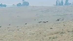 Dezenas de cangurus fogem do fogo na Austrália em busca de salvação