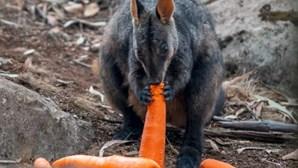 Vegetais atirados de helicóptero alimentam animais que lutam por sobreviver aos incêndios na Austrália