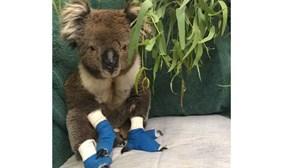 Morreu Billy, um dos coalas resgatados nos incêndios da Austrália