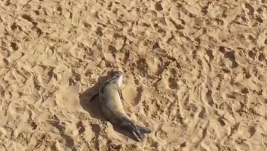 Cria de foca encontrada com vida em praia de Sintra