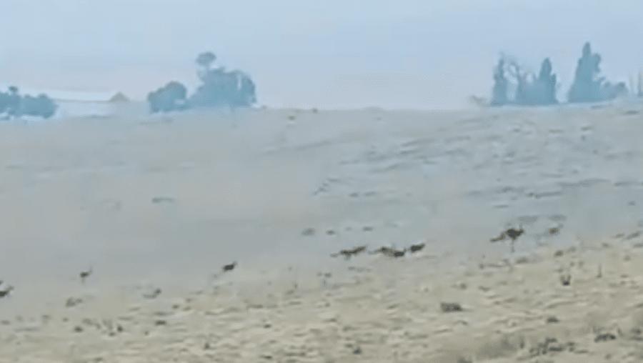 Dezenas de cangurus fogem do fogo em busca de salvação na Austrália