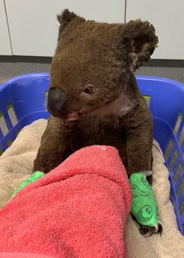 Restaurante em Lisboa adota coala e recolhe fundos para salvar animais na Austrália