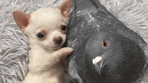 Cão que não consegue andar torna-se o melhor amigo de pombo... que não consegue voar
