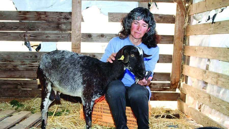 Maria Bento junto a uma das cabras doentes após terem ingerido erva