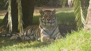 Tigre de 4 anos de zoo de Nova Iorque está infetado com coronavírus