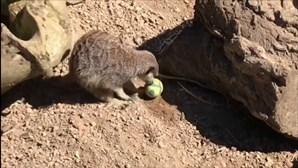 Suricatas participam em caça aos ovos de Páscoa no jardim zoológico de Londres
