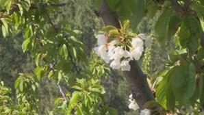 Produtores de cereja do Fundão acreditam manter metas apesar da pandemia