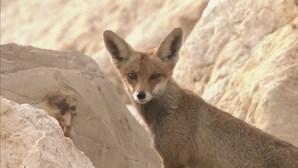 Confinamento da população encoraja raposas a sair à rua em Israel