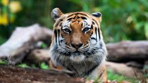 Zoo do Bronx tem mais quatro tigres e três leões infetados com coronavírus