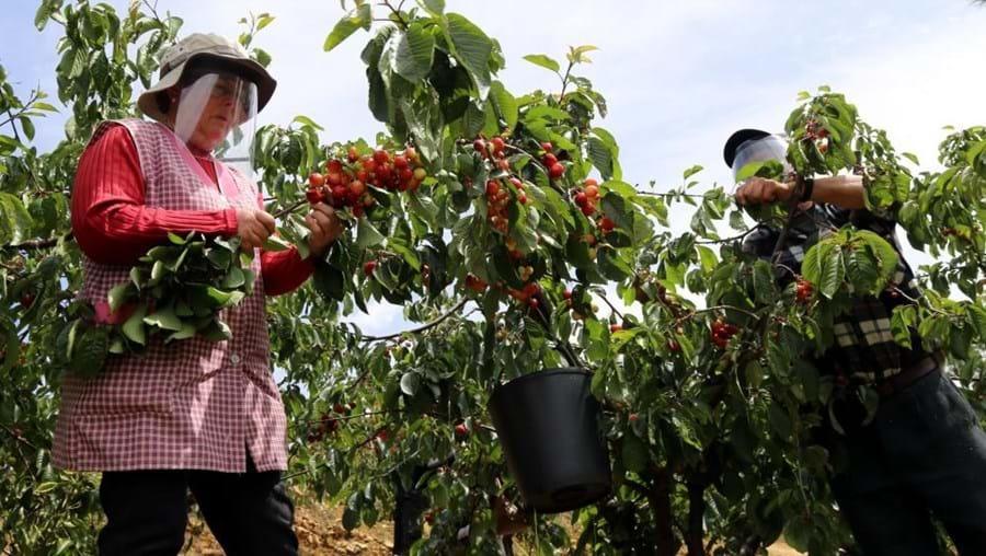Máscaras e viseiras 'invadem' pomares de cereja no Fundão