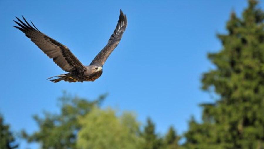 Águias feridas foram alguns dos  437 animais selvagens recebidos nos centros de recuperação da Quercus