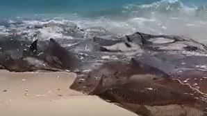 Grupo de golfinhos em agonia depois de serem apanhados por rede de pesca na Praia de Mira