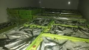 GNR apreende 2100 quilos de sardinha por fuga à lota