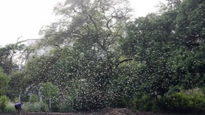 Praga de gafanhotos destrói plantações em Angola