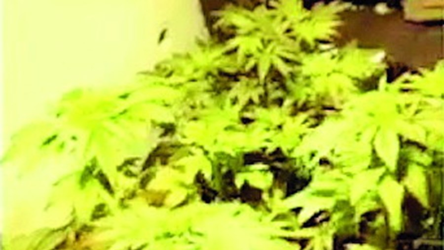 Plantas na casa do traficante