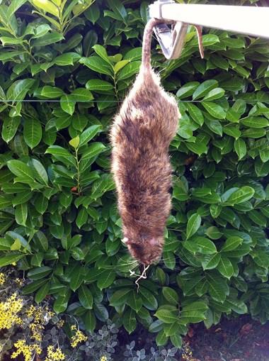 Relatos de invasão de ratazanas gigantes multipliccam-se nas redes sociais