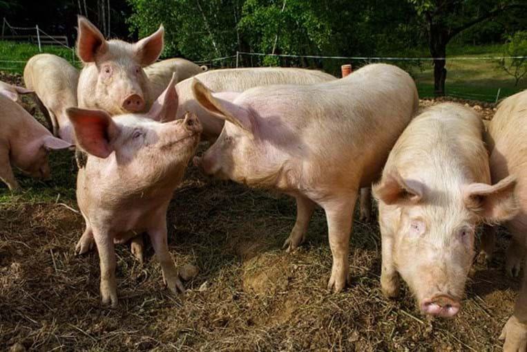 Vírus G4 foi descoberto em explorações suínas na China