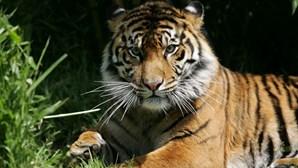 Tigre ataca tratadora até à morte em jardim zoológico