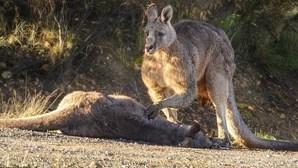 Canguru 'chora' morte de companheira e cria que foram atropeladas