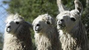 Anticorpos de lamas impedem o coronavírus de entrar nas células humanas