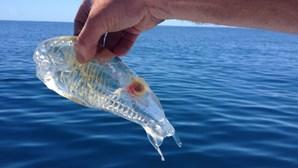 """Identificada espécie de """"organismos gelatinosos"""" que deram à costa na Foz do Arelho"""