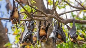 Morcegos reduziram pragas nas culturas do Vale do Tua