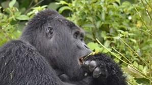 Mata gorila famoso em vias de extinção e é condenado a 11 anos de prisão
