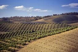 Crime ambiental está relacionado com a prática da plantação superintensiva de olivais