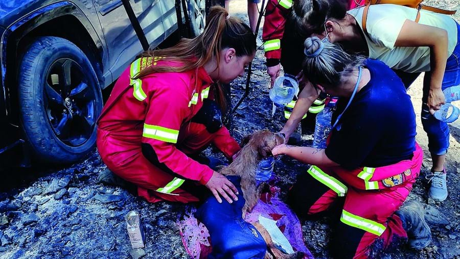 Pelo menos 73 animais perderam a vida no incêndio que deflagrou na serra da Agrela
