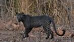Leopardo negro ultra-raro fotografado por estudante em reserva