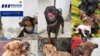PSP resgata 28 cães de barracão em Lisboa. Veja as imagens dos animais que estão agora para adoção