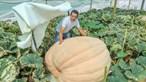 Abóbora com 610 kg produzida no Algarve
