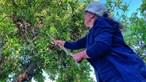 Mais de 20 mil quilos de alfarroba furtados no Algarve desde junho