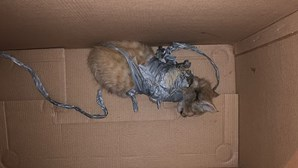 Gato bebé encontrado no lixo com explosivos presos ao corpo