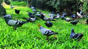 Alfinetes escondidos em milho em Faro estão a matar pombos