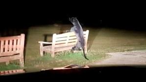 'Pantera' à solta em parque lança pânico