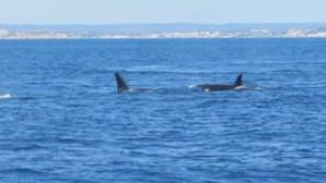 Seis orcas surpreendem turistas na praia de Benagil, em Lagoa