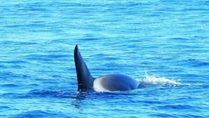 Orcas regressam ao Algarve duas semanas depois. Veja as imagens