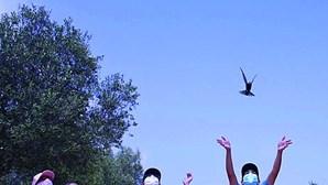 Andorinhões voam pela primeira vez