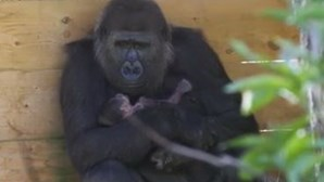 Cria de gorila nasce no jardim zoológico de Bristol e faz as delícias dos tratadores