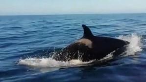 Orcas nadam junto de embarcação ao largo das praias da Costa da Caparica
