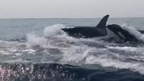 Orcas assustam pescadores ao passarem rente a barco